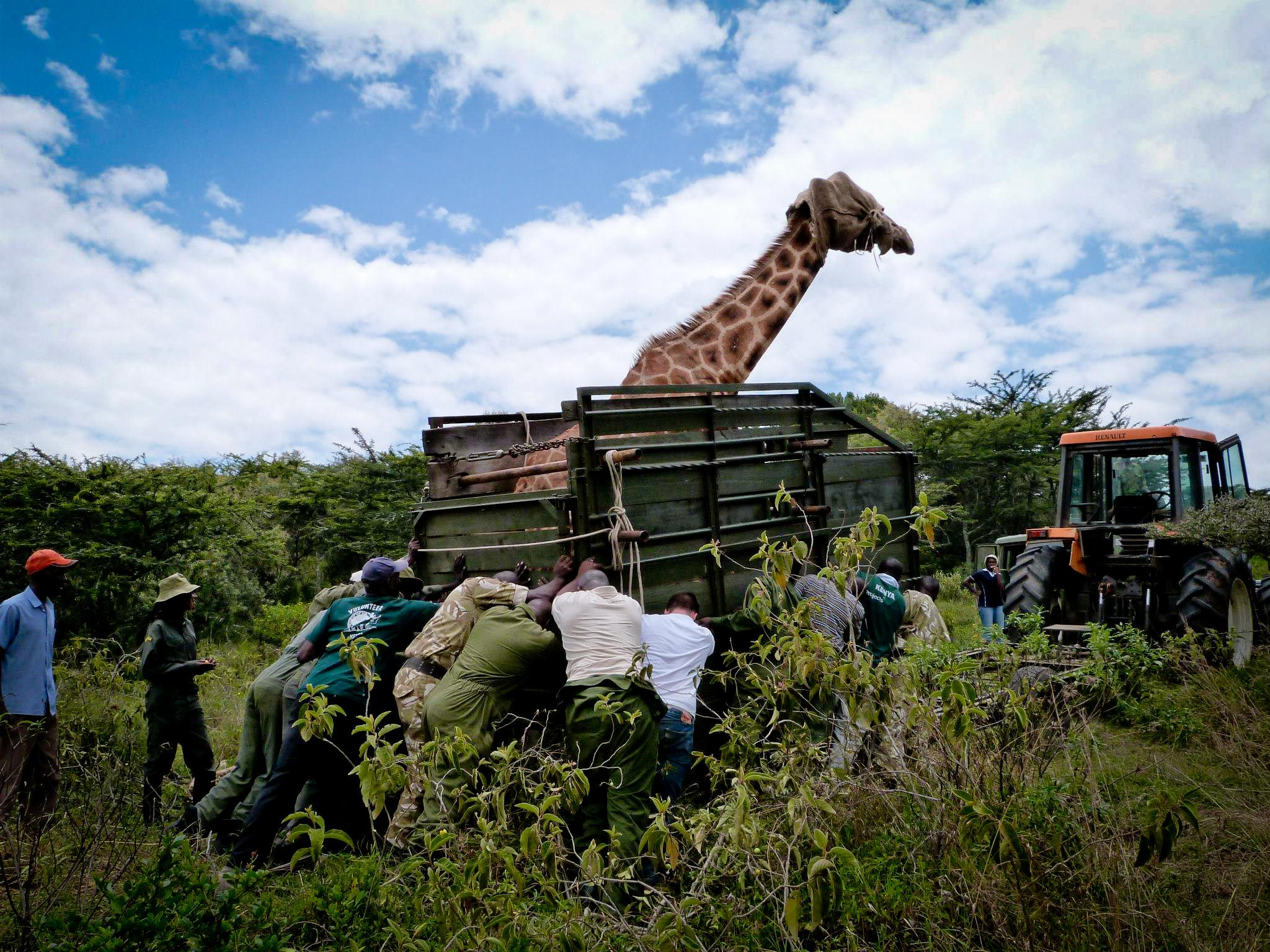 Volunteers from Projects Abroad are pictured with a giraffe they helped rescue whilst on their wildlife conservation volunteer work in Kenya.
